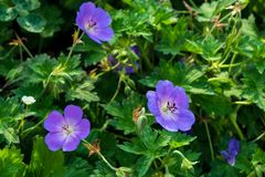 Geranium on a green flower bed stock image