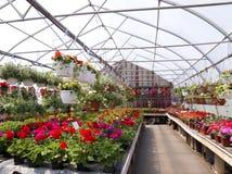 Geranium Greenhouse Stock Images