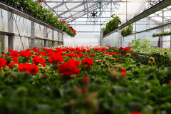Geranium greenhouse Royalty Free Stock Photography