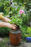 Geranium in the hands for planting in a pot Royalty Free Stock Photos