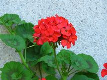 Geranium `Happy Thoughts Red` Pelargonium with red blooms and vibrant green leaves on white wall background. Suitable for floral background, greeting card royalty free stock photography