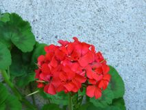 Geranium `Happy Thoughts Red` Pelargonium with red blooms and vibrant green leaves on white wall background. Suitable for floral background, greeting card royalty free stock photo