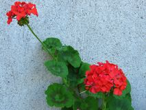 Geranium `Happy Thoughts Red` Pelargonium with red blooms and vibrant green leaves on white wall background. Suitable for floral background, greeting card royalty free stock images