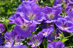 Geranium himalayense is a broad-growing geranium with beautiful blue- purple flowers. The flowers of Geranium himalayense are violet blue in color with a white stock photo