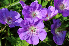 Geranium himalayense is hardy and loses his winter leaf Royalty Free Stock Image