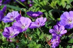 Geranium himalayense is a winter hardy plant Stock Photos