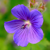 Geranium 'Johnson's Blue' Royalty Free Stock Image