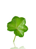 Geranium leaf. Isolated on white background Stock Image