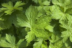 Geranium Leaf Royalty Free Stock Photos