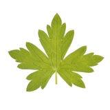 Geranium leaf isolated on white stock photo