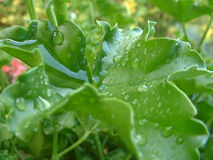 Geranium leaf with water drops 1. Geranium leaf with water drops stock images