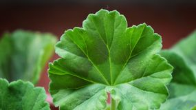Geranium leaf. Young and new stock photo