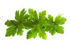 Geranium leaves Stock Photo