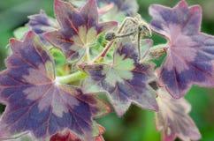 Geranium leaves closeup Royalty Free Stock Image