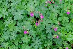 Geranium with leaves Stock Photography