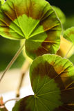 In geranium leaves shade. Close-up of geranium leaves, in shadow on summertime royalty free stock photos