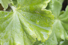 Geranium leaves wet from rain Stock Images