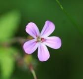 Geranium lucidum Stock Photos