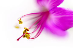 Geranium macro Royalty Free Stock Images