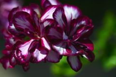 Geranium macro Stock Photography