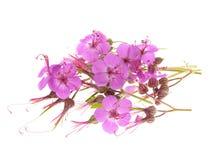 Geranium macrorrhizum blossoms Royalty Free Stock Image
