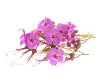 Geranium macrorrhizum blossoms Royalty Free Stock Photos