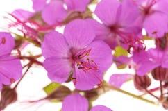 Geranium macrorrhizum blossoms Stock Photos