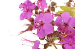 Geranium macrorrhizum blossoms Stock Images