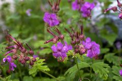 Geranium macrorrhizum, crane`s bill in bloom Stock Photos