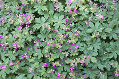 Geranium  macrorrhizum  flowers Royalty Free Stock Photo