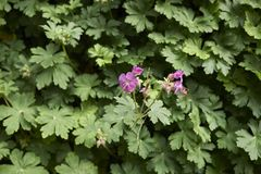 Fresh leaves and flowers of Geranium macrorrhizum. Geranium macrorrhizum in a vertical garden stock image