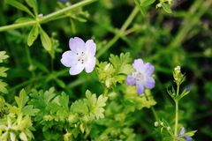 Geranium maculatum. Is a plant native to North America Stock Images
