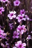 Geranium maderense, gekend als reuze kruid-Robert of Madera royalty-vrije stock foto