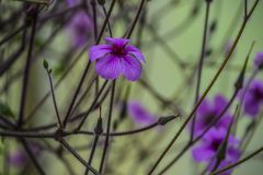 Geranium maderense, known as giant herb-Robert[1] or the Madeira cranesbill, is a species of flowering plant in the Geraniaceae. Family, native to the island of royalty free stock images