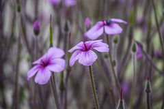 Geranium maderense, known as giant herb-Robert[1] or the Madeira cranesbill, is a species of flowering plant in the Geraniaceae. Family, native to the island of stock photos