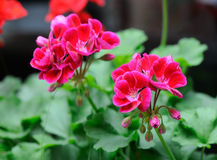 Geranium. Magenta garden geranium flowers , closeup royalty free stock image