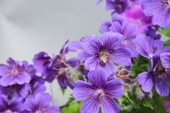 Geranium magnificum royalty free stock photos