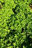 Geranium magnificum Stock Photos
