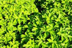 Geranium magnificum royalty free stock photography