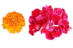 Geranium and marigold. Flowers geranium and marigold, objects white isolated royalty free stock images