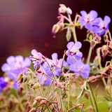 Geranium meadow blue. In the glare from the sun royalty free stock images
