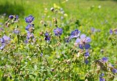 Geranium meadow Stock Photography