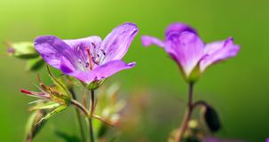 Geranium meadow in sunset light. Royalty Free Stock Images