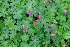 Geranium met bladeren Stock Fotografie