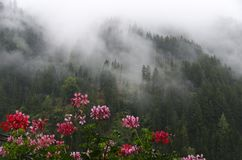Geranium before a mist-shrouded mountain forest Royalty Free Stock Photos