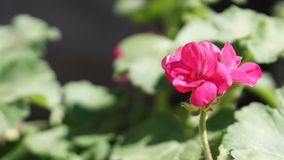 Geranium in my little garden. My geranium in my garden little macro grass royalty free stock photo