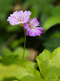 Geranium nodosum aka Knotted cranes bill, differen Stock Photo