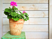 Geranium in old clay pot Stock Images