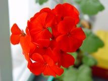Geranium. Open flower red geranium. Summer stock image