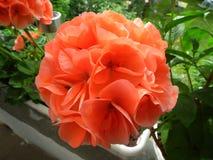 Geranium orange. Flower orange geranium summer garden royalty free stock photography